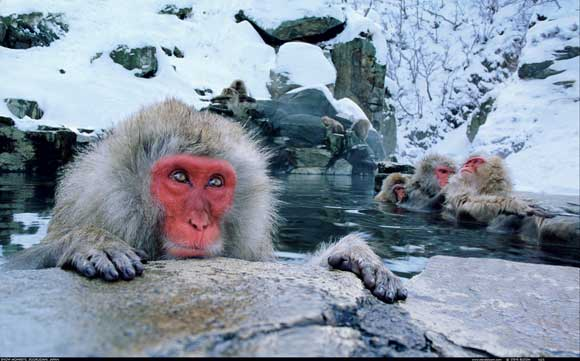 Snow Monkey, Japan by Steve Bloom, Wildlife Photographer