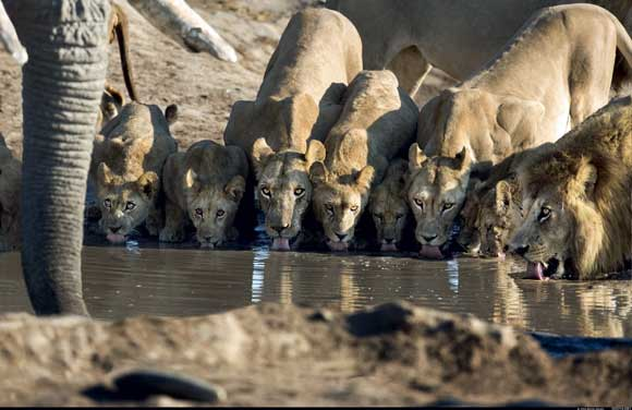 Lions, Botswana by Steve Bloom, Wildlife Photographer