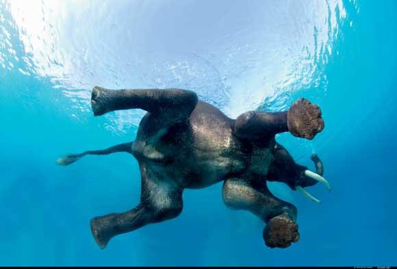 Swimming Elephant by Steve Bloom, Wildlife Photographer