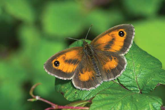 WDC Top 12 Tips for Macro Photography - Gatekeeper Butterfly
