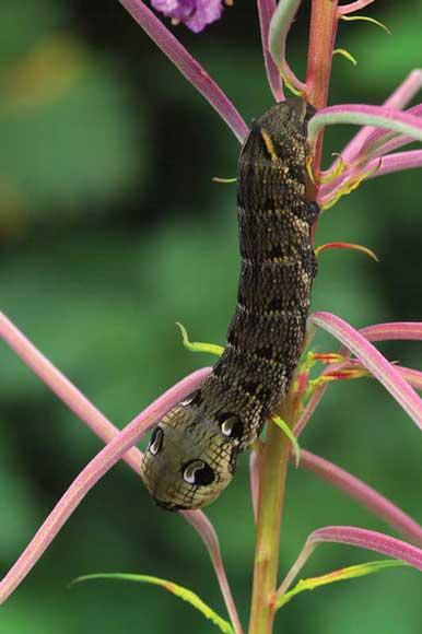 WDC Elephant Hawk Moth by Robert Thompson