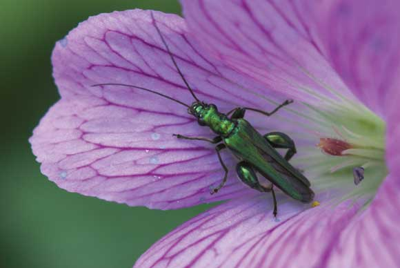 WDC Top 12 Tips for Macro Photography - Oedemera Nobilis