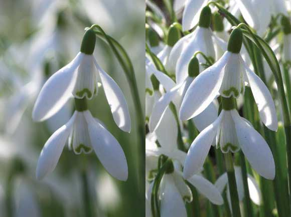 Top 12 Tips for Macro Photography - Snowdrops