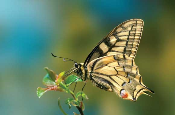 WDC Top 12 Tips for Macro Photography - Swallowtail Butterfly
