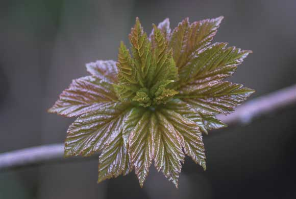 WDC Top 12 Tips for Macro Photography - Sycamore Leaf