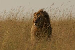 AHS Lion