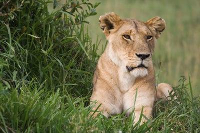 Lion taken with telephoto lens