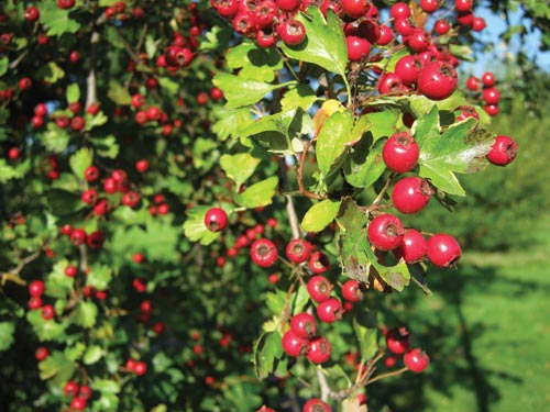 Canon A495 test image berries