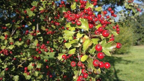 Nokia N8 test image berries