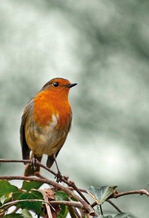 winter Robin wildlife