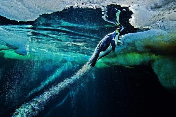 Blast-off by Paul Nicklen