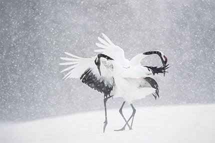 Vincent Munier Gear Cranes' by Vincent Munier