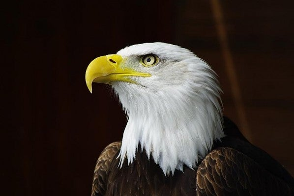 Bald Eagle - winner June photo of the month comp